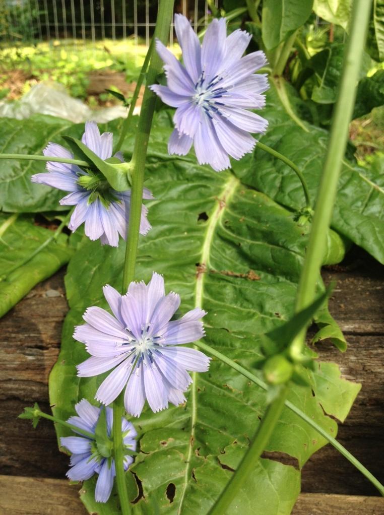 Romaine Lettuce Flowers
